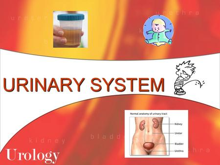 URINARY SYSTEM. Functions of the Urinary System 1. Maintains proper balance of water, salts and acids in body fluids 2. Filters the blood to remove urea.