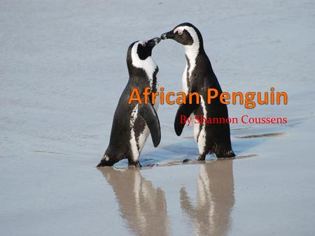 By Shannon Coussens. Interesting Facts! The African Penguin is the only species of penguin breeding on the African continent. The African Penguin is also.