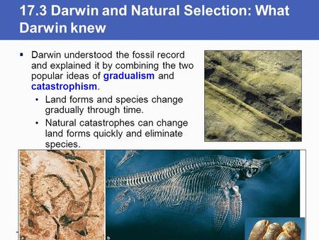 17.3 Darwin and Natural Selection: What Darwin knew  Darwin understood the fossil record and explained it by combining the two popular ideas of gradualism.