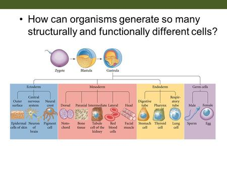 How can organisms generate so many structurally and functionally different cells?