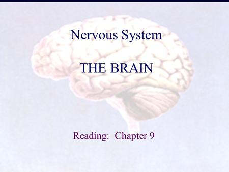 1 Nervous System THE BRAIN Reading: Chapter 9. 2 1. Basic Structure Gray matter = nerve cell bodies White matter = myelinated axons Ganglion = -a bundle.