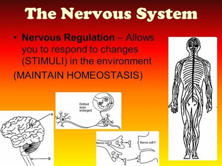 The Nervous System Nervous Regulation – Allows you to respond to changes (STIMULI) in the environment (MAINTAIN HOMEOSTASIS)