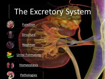 The Excretory System Function Structure Nephron Urine Formation Homeostasis Pathologies.