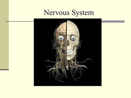 Nervous System. CNS-Central Nervous System Control stimulates and coordinates all other body systems Command center.