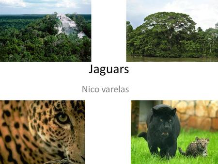 Jaguars Nico varelas. jaguar Of all the big cats in the wild jaguars remain the least studied by scientists. This is mainly because they are very shy.
