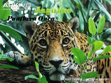 Panthera Onca. Threats  Humans are their only threat. Deforestation, poaching, and being killed by ranchers have pushed jaguars to be a near threatened.