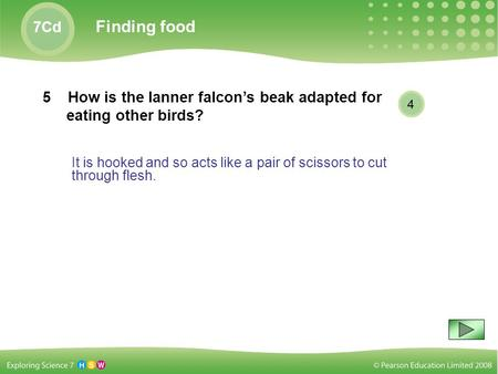 It is hooked and so acts like a pair of scissors to cut through flesh. 7Cd Finding food 5 How is the lanner falcon's beak adapted for eating other birds?