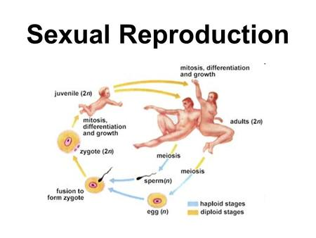 Sexual Reproduction A. External Fertilization 2. Large number of eggs and sperm released 1. Egg fertilized outside female body I. Internal Vs. External.