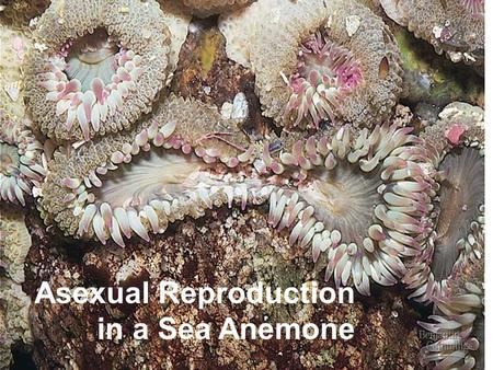 Asexual Reproduction in a Sea Anemone. Sexual Behavior in Parthenogenetic Lizards (all female); adults are haploid (a) The female on the back induces.