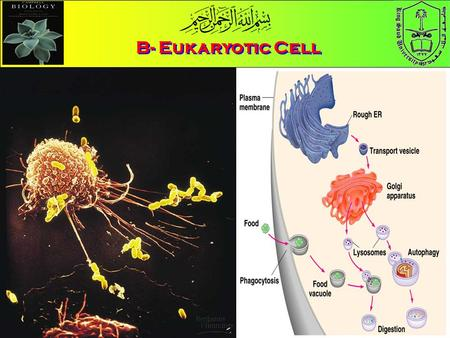 B- Eukaryotic Cell. Eu = True Karyon = Nucleus B- The Eukaryotic Cell Animal Cell Plant Cell Compare Animal and Plant cell What are the functions of cell.