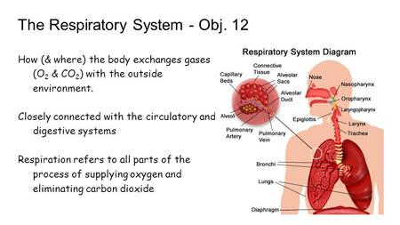 The Respiratory System - Obj. 12 How (& where) the body exchanges gases (O 2 & CO 2 ) with the outside environment. Closely connected with the circulatory.