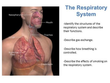 Lesson Overview Lesson Overview The Respiratory System -Identify the structures of the respiratory system and describe their functions. -Describe gas exchange.