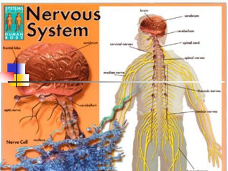 AIM: How does the nervous system function? A. Parts of the Nervous System 1. Neurons – the basic cellular unit of the nervous system a. Sensory neurons.