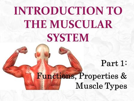 INTRODUCTION TO THE MUSCULAR SYSTEM Part 1: Functions, Properties & Muscle Types.