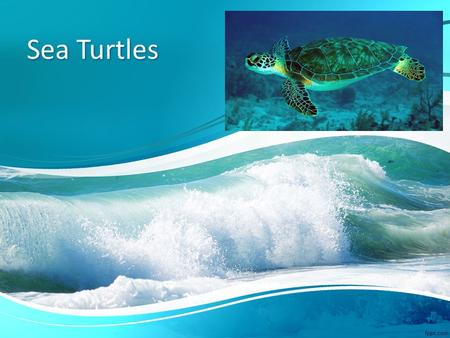 Sea Turtles. Green Sea Turtle Habitat: Tropical and Subtropical waters Where found: Atlantic and Pacific Oceans Lifespan: 80 years or older Diet: sea.