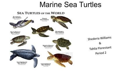 Marine Sea Turtles Shederia Williams & Tahlia Florestant Period 2.