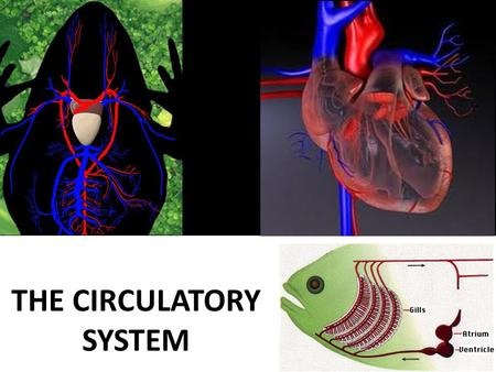 THE CIRCULATORY SYSTEM. The Circulatory System Importance in large multicellular organisms: transport various substances between: ■ external environment.