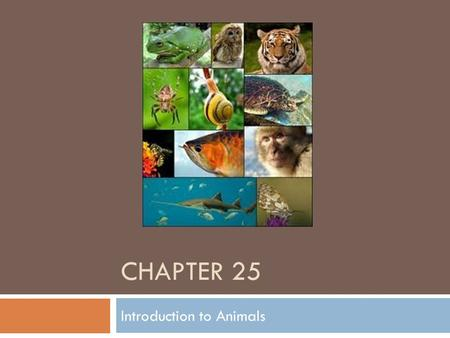 CHAPTER 25 Introduction to Animals. Characteristics of all animals – Kingdom Animalia  Multicellular – contain many cells  Heterotrophic – eat other.