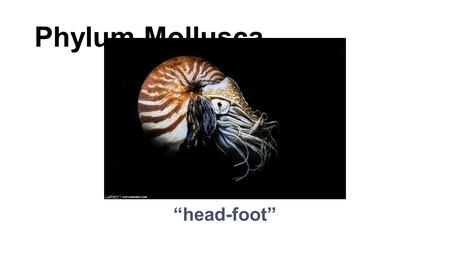 "Phylum Mollusca ""head-foot"". Phylum Mollusca ""soft body"" For Example…. Clams Oysters Nautilus Snails, slugs Octopus Squid."