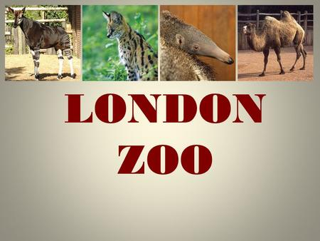 LONDON ZOO. London Zoo is one of the most famous of all London attractions. It is situated in Regent's Park and was opened in 1828 by the Zoological Society.