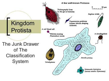 Kingdom Protista The Junk Drawer of The Classification System.