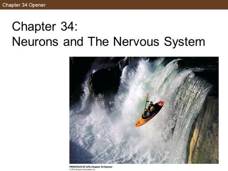 Chapter 34 Opener Chapter 34: Neurons and The Nervous System.