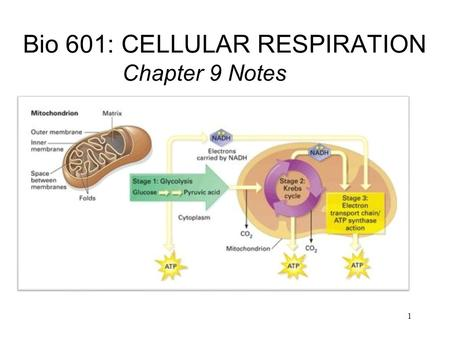 Bio 601: CELLULAR RESPIRATION Chapter 9 Notes 1. Humans inhale air that contains approximately 21% oxygen. Oxygen diffuses INTO the blood stream from.