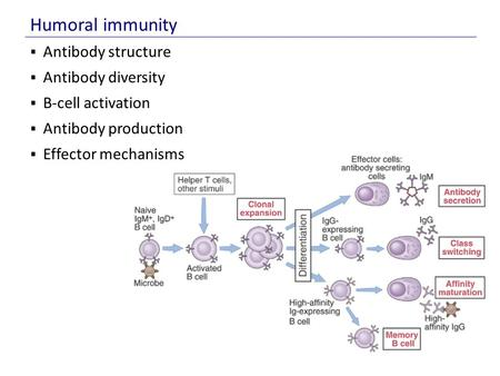  Antibody structure  Antibody diversity  B-cell activation  Antibody production  Effector mechanisms Humoral immunity.