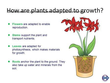 How are plants adapted to growth? Different parts of a plant are adapted to assist its growth and survival. Flowers are adapted to enable reproduction.
