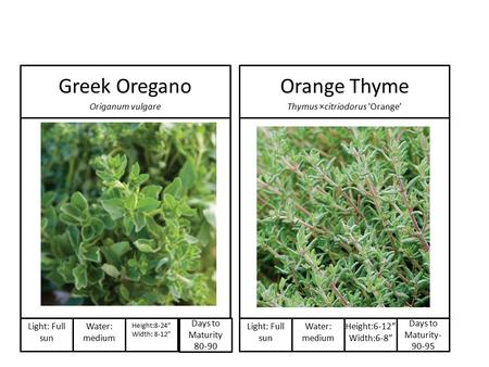 "Days to Maturity 80-90 Light: Full sun Water: medium Height:8-24"" Width: 8-12"" Greek Oregano Origanum vulgare Days to Maturity- 90-95 Light: Full sun Water:"