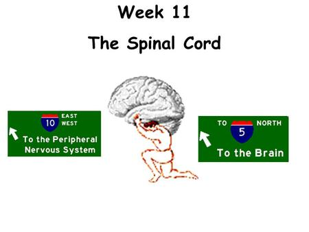 Week 11 The Spinal Cord. Activity 1:The Spinal Cord.