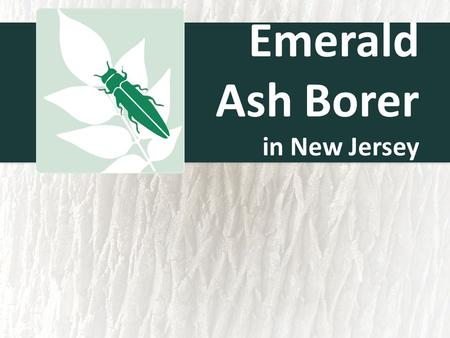 Emerald Ash Borer in New Jersey. Emerald Ash Borer (EAB) History of the spread First discovered in Michigan in 2002 Infestation likely to have started.