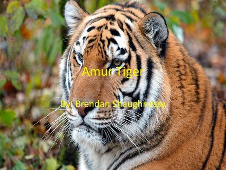 Amur Tiger By: Brendan Shaughnessy. 5 Facts about Amur Tigers 1.Once found in Russian Far East, northern China, and the Korean peninsula. 2.Amur Tigers.