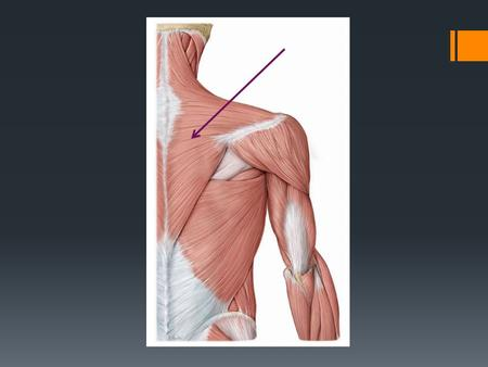 Trapezius Origin: medial third of superior nuchal line; EOP; ligamentum nuchae, T1-T12 spinous process Insertion: spine of scapula; acromion; lateral third.