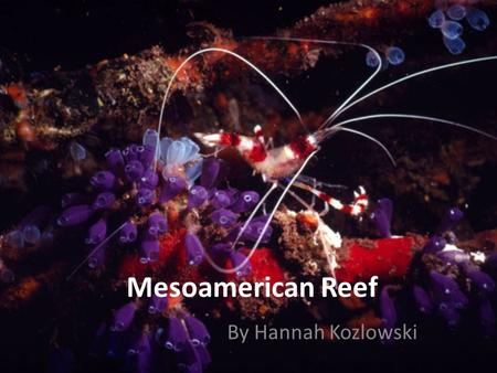 Mesoamerican Reef By Hannah Kozlowski. Risk of Climate Change Increased water temperature 2-3 Fahrenheit Short period of time Algae die Food for coral.