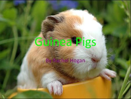 Guinea Pigs By Rachel Hogan. Habitat They should be the correct size for the amount of guinea pig(s) you have/get It MUST be a guinea pig cage not a fish.