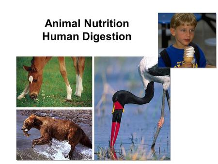 Animal Nutrition Human Digestion What do animals need to live? Animals make energy using: –food –oxygen Animals build bodies using: –food for raw materials.