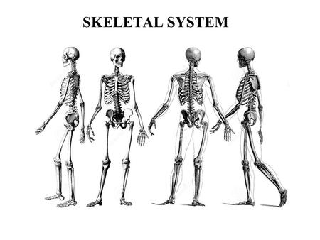 SKELETAL SYSTEM. Functions of the Skeletal System Your skeleton performs several important functions. Support and Protection Body movement Blood cell.