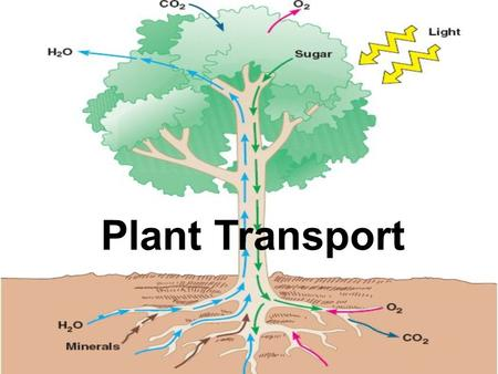 Plant Transport. 1. Roots absorb water and dissolved minerals from the soil. 2. Water and minerals are transported upward from roots to shoots as xylem.
