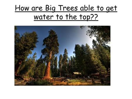 How are Big Trees able to get water to the top??.