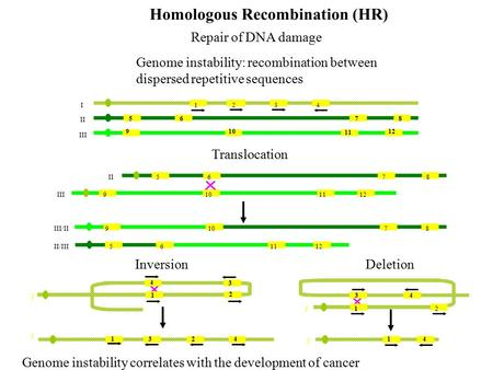 5678 910 11 12 I II III Homologous Recombination (HR) Repair of DNA damage Genome instability: recombination between dispersed repetitive sequences Translocation.