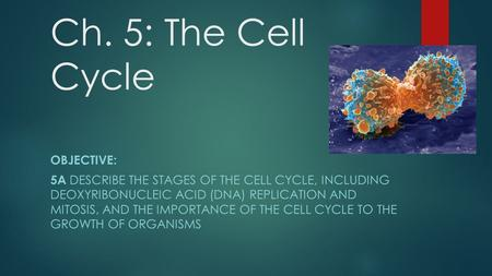 Ch. 5: The Cell Cycle OBJECTIVE: 5A DESCRIBE THE STAGES OF THE CELL CYCLE, INCLUDING DEOXYRIBONUCLEIC ACID (DNA) REPLICATION AND MITOSIS, AND THE IMPORTANCE.