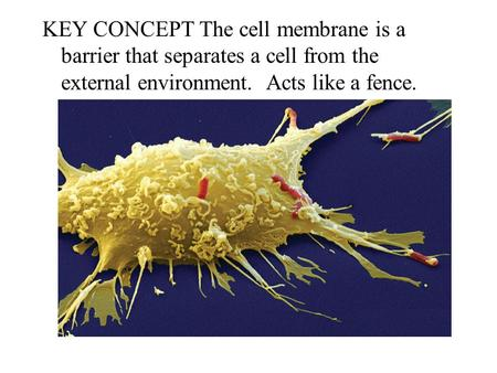KEY CONCEPT The cell membrane is a barrier that separates a cell from the external environment. Acts like a fence.