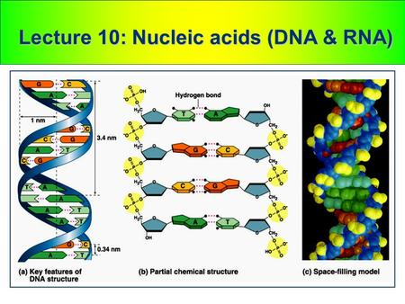 Lecture 10: Nucleic acids (DNA & RNA). Watson and Crick discovered the double helix by building models to conform to X-ray data In April 1953, James Watson.