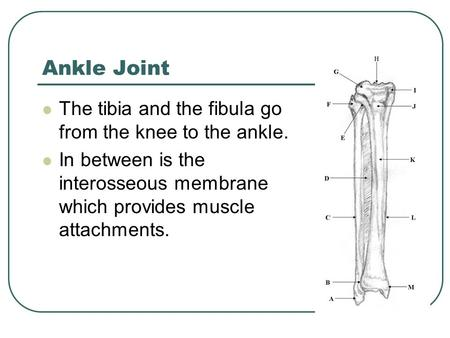 Ankle Joint The tibia and the fibula go from the knee to the ankle.