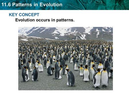 11.6 Patterns in Evolution KEY CONCEPT Evolution occurs in patterns.