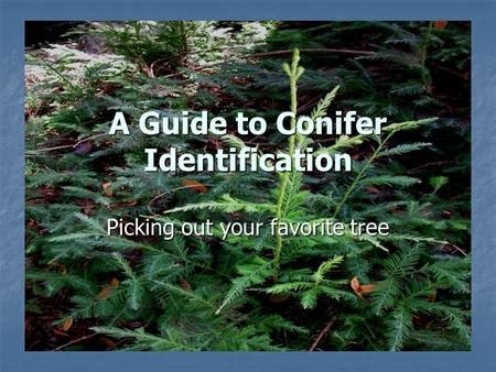 A Guide to Conifer Identification Picking out your favorite tree.