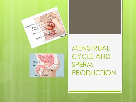 MENSTRUAL CYCLE AND SPERM PRODUCTION. MENSTRUATION Egg reaches uterus and lining thickens more Egg released.