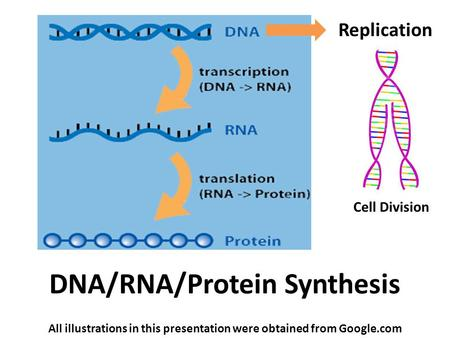 DNA/RNA/Protein Synthesis All illustrations in this presentation were obtained from Google.com Replication Cell Division.