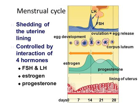 LH FSH estrogen progesterone lining of uterus egg development ovulation = egg release corpus luteum 07142128days Menstrual cycle Shedding of the uterine.